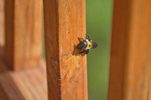 Carpenter Bees Extermination in Worcester, Massachusetts