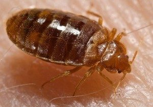 Bed Bug Extermination in Worcester, Massachusetts