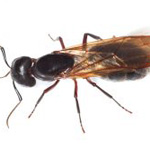 Carpenter Ant Extermination in Worcester, Massachusetts