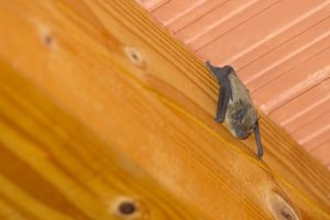 Bat Removal in Worcester, Massachusetts