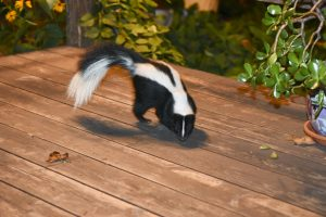 Skunk removal in Worcester, Massachusetts