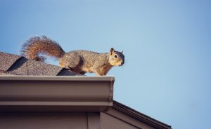 Squirrel removal in Worcester, Massachusetts