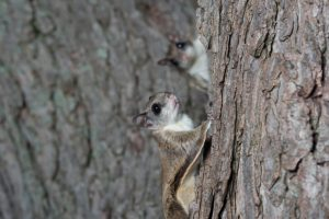 Flying Squirrel removal in Worcester, Massachusetts