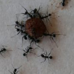 Pavement ant control in Worcester, Massachusetts