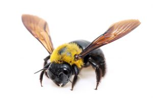 Carpenter Bees Extermination for Worcester, Massachusetts